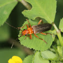 Red Headed Beetle