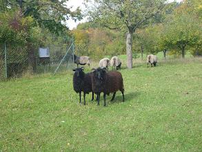 Photo: Wer ist hier das schwarze Schaf?