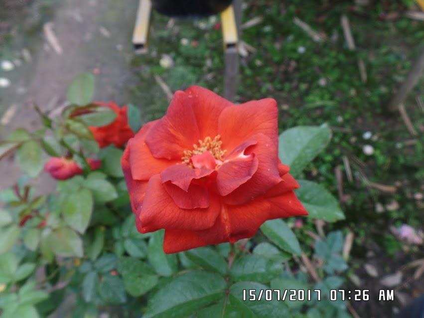Hồng ngoại Hot Chocolate Rose khi trồng ở Sa Đéc tính đến thời điểm hiện tại form hoa chưa được tròn trịa như mong muốn