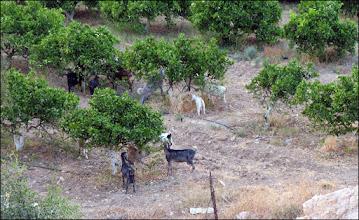 Photo: И были козы, с голодухи объедавшие деревья.