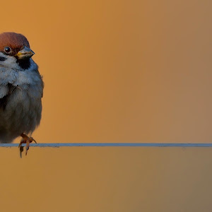 Feb 13 sparrow.jpg