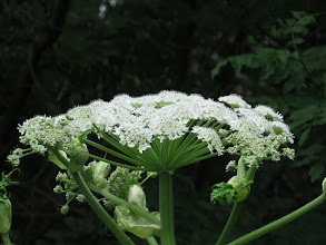 Photo: 24 Jun 13 Priorslee Lake: A different Giant Hogweed flower: for years there were 3 plants at the lake: 2 on the E edge of the SW small copse; and 1 in the Wesley Brook near the footbridge. Perhaps because the Severn-Trent contractors cleared out the brook and opened it up to more light this area now has at least 9 of the monsters. (Ed Wilson)