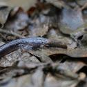 Three-toed Amphiuma