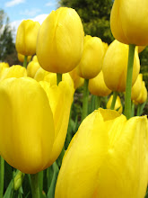 Photo: Beautiful golden tulips at Wegerzyn Gardens in Dayton, Ohio.