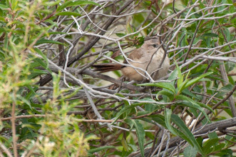 Photo: Spinetail?
