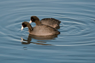 Photo: American coots