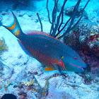 Stoplight Parrotfish (Final phase)