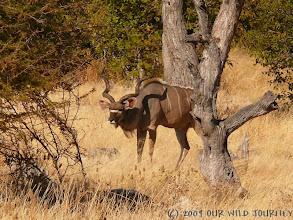 Photo: Antylopa Kudu v NP Etosha / Kudu in Etosha NP