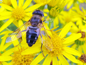 Photo: Glänzende Keilfleckschwebfliege