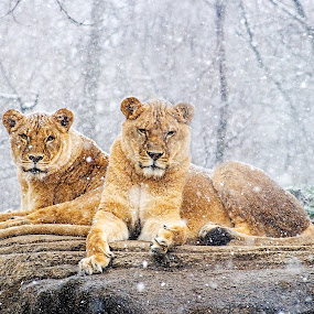 Lionesses in the Snow by Eric Gaston - Animals Lions, Tigers & Big Cats ( lion, cat, sisters, winter, zoo, nature, lioness, snow, wildlife, rock, animal )