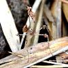 wandering violin mantis, ornate mantis, Indian rose mantis