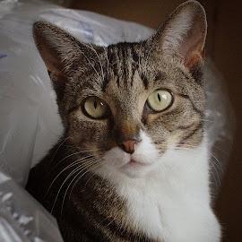 Poppy by Martin Arscott - Animals - Cats Portraits ( cat, portrait )