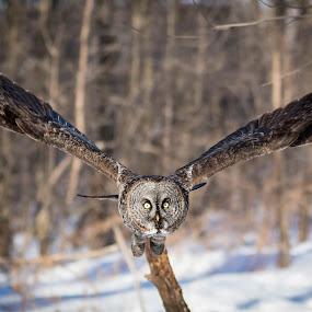 by Jocelyn Rastel-Lafond - Animals Birds ( bird, great gray owl, owl, wildlife, chouette laponne, oiseaux )