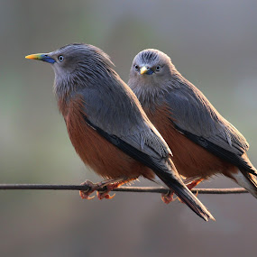 The couple by Mrinmoy Ghosh - Animals Birds (  )