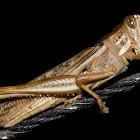 Bird Locust / South American Locust
