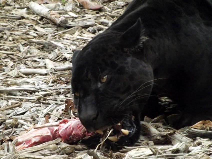 Jaguar noir, Paris - Tous droits réservés