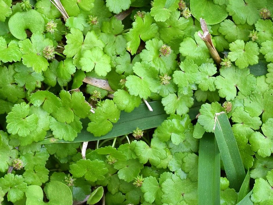 Щитолистник сибторпиоидес (Hydrocotyle sibthorpioides)