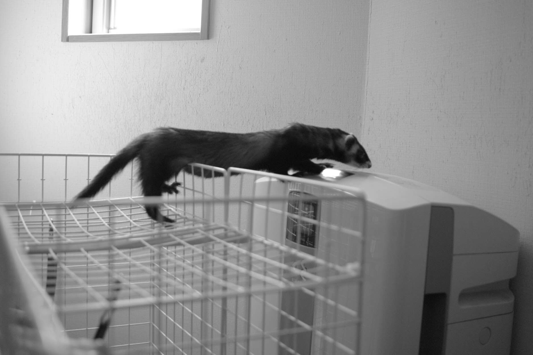 フェレット、脱獄するフェレット、ノスタルジック、白黒写真、DP2