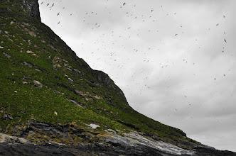 Photo: Bleiksøya I. Puffins colony