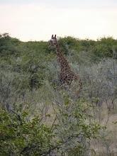 Photo: Etoschapark, Giraffe