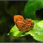Zemeros flegyas 波蜆蝶