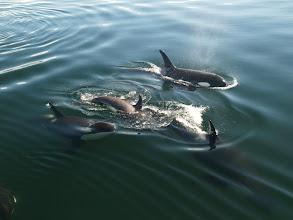 Photo: More Orcas