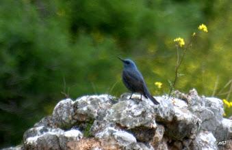 Photo: Синий каменный дрозд, Blue Rock-thrush, (Monticola solitarius), Дельфы