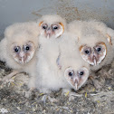 Barn Owls, 32 days old