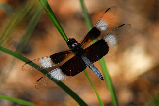 Photo: Dragonflies are also easy to spot around Lake Tawasi.