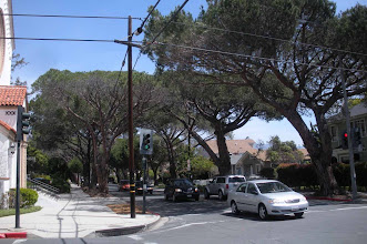 Photo: Stone Pine trees with thinning crowns at the intersection of Garden Street and Anapumu St.. in Santa Barbara, California, April 19, 2012.