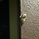 Cuban Treefrog ( A Second Spotting )