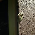 Cuban Treefrog ( A Second Spotting )
