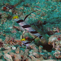 Yellownose Shrimpgoby
