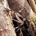 Cangrejo de manglar