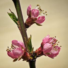 breskvin cvijet by Dunja Kolar - Flowers Tree Blossoms ( croatia, breskvin cvijet, zagreb )