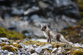 Photo: This was one of several arctic fox that we spotted during a landing in Spitzbergen. They were very curious, obviously wanting to come and investigate us but also very skittish so they never ended up coming all that close.