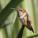 Allen's/Rufous Hummingbird
