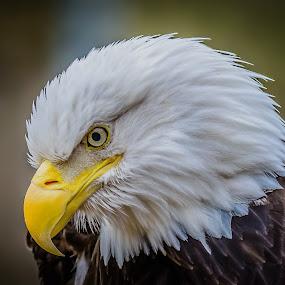 by John Sinclair - Animals Birds ( eagle, nature, wildlife, raptor )