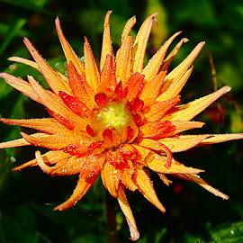 Dalhia 2 by Gérard CHATENET - Flowers Single Flower