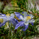 Colorado Columbine