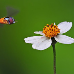 Hover flying by Drajat Setiawan - Nature Up Close Flowers - 2011-2013