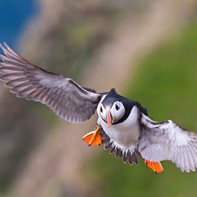Atlantic Puffin by Evžen Takač - Animals Birds ( flying, traveling, cliffs, wildlife, atlantic puffin, birds, norway )