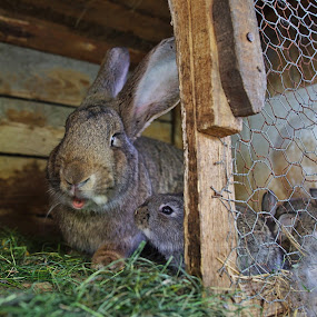 Bunny family by Nicu Buculei - Animals Other Mammals ( rabbit, domesticated, animals, family, bunny, cute )
