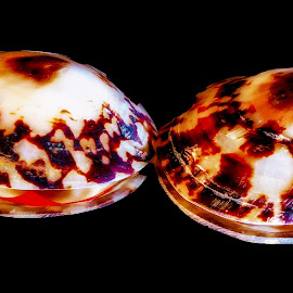 Owl Limpet Seashells by Dave Walters - Nature Up Close Other Natural Objects ( sea shells, colors, artistic, nature up close )