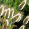 Hares tail grass