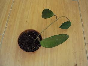 Photo: Hoya carnosa de Elo