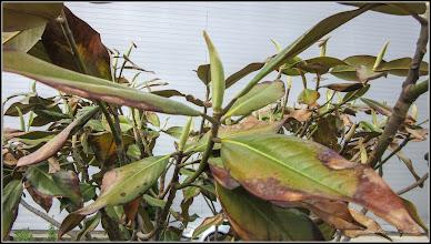 Photo: Magnolia grandiflora - Din Piata 1 Decembrie 1918, spatiu verde - 2017.05.10