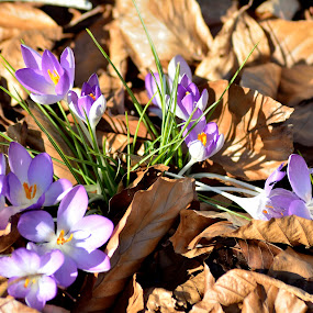 Spring flower by Radisa Miljkovic - Flowers Flowers in the Wild