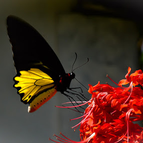 Common Birdwing by Partha Jha - Animals Insects & Spiders