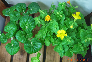 4 week toy choi, 10 week mimulus - seems to be a heftier variety of toy choi than I've grown before
